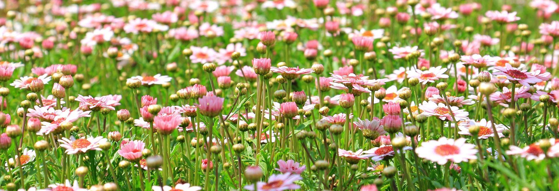 louka růžová kopretiny